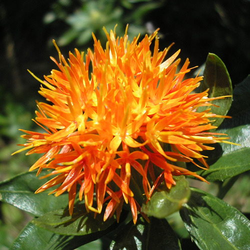 홍화씨오일(Safflower seed Oil)